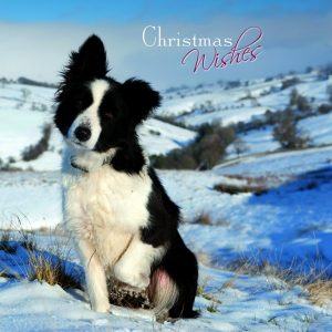 Border Collie - Christmas Card-0