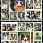 Australian Shepherd - Stickers-0