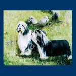 Bearded Collie- 6 pack Note Cards-0