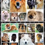 Chow Chow - Stickers-0