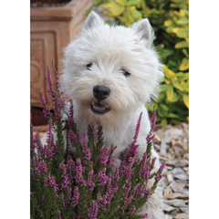 West Highland Terrier Puppy –  Blank Card-0