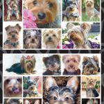 Yorkshire Terrier - Stickers-0