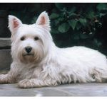West Highland Terrier Door Mat-0