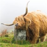 Scottish Highland Cow- Greeting Card-0